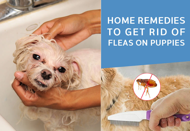 Home Remedies To Get Rid Of Fleas On Puppies