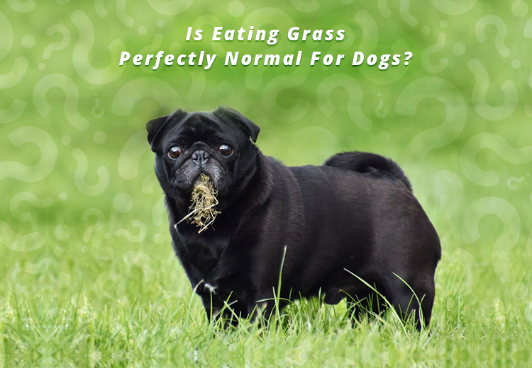 Is Eating Grass Perfectly Normal For Dogs?