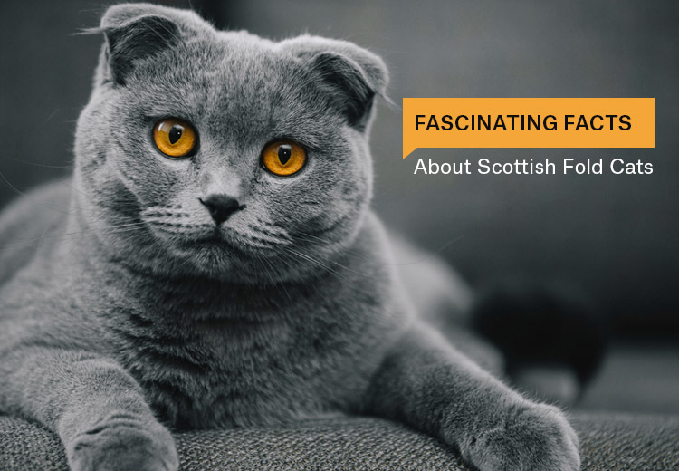 fascinating_facts_about_scottish_fold_cats.jpg