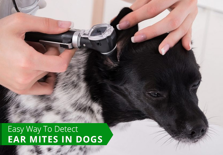 Easy Way to Detect Ear Mites In Dogs
