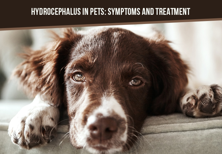 Hydrocephalus In Pets Symptoms And