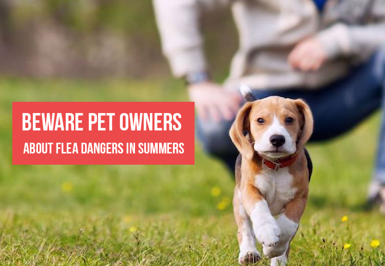 Beware Pet Owners about Flea Dangers in Summers