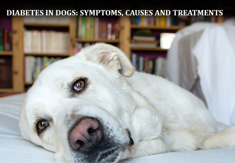 Diabetes in Dogs-Symptoms, Causes and Treatments