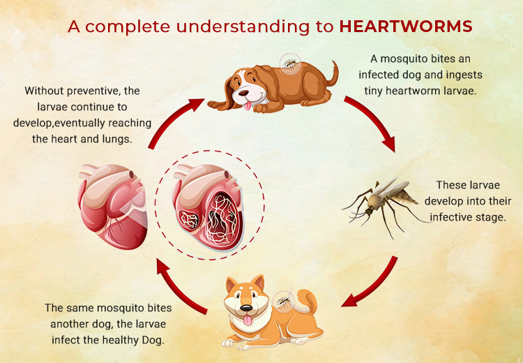 A complete understanding to heartworms