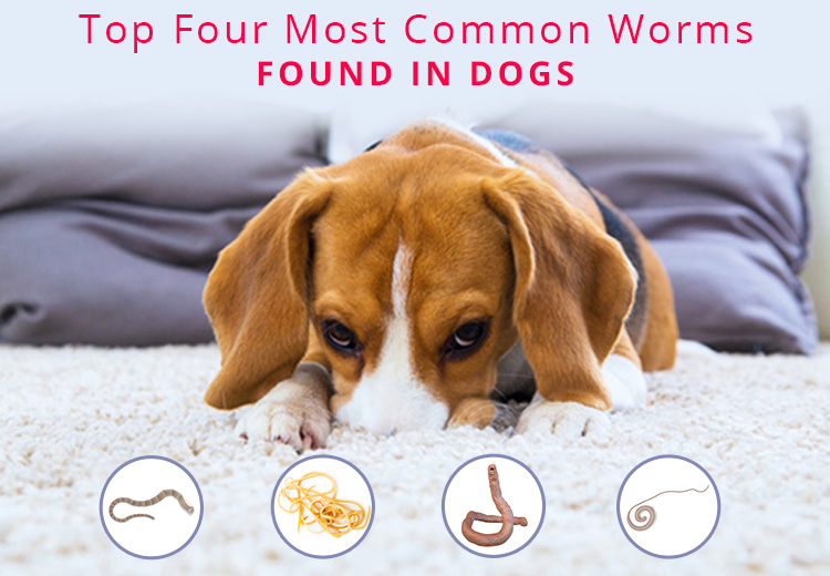 Top 4 Most Common Worms Found in Dogs