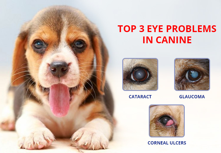 Top 3 Eye Problems In Canine
